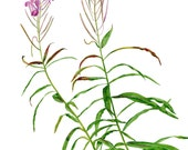 Fireweed or Great Willow Herb - Card featuring wildflower in watercolor, painted on location