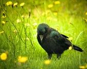 Meditating Crow-Yellow, Dandilion, Blackbird 20 x 30 Canvas Print, Photography Art Print