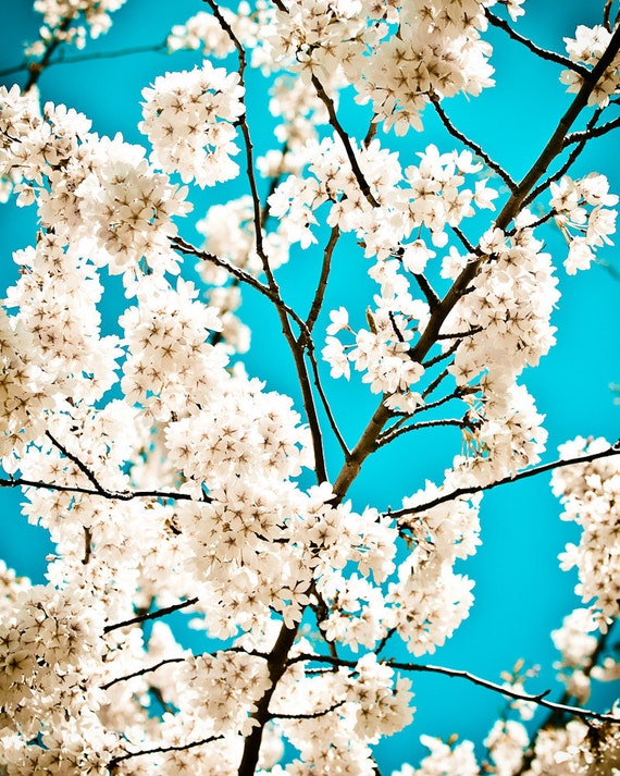Cherry Blossom, Blue, Spring, 8 x 10 Photography