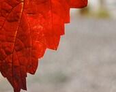 Red Leaf: 5x7 Photo Taken in Saratoga, CA