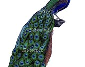 Instant Download - Peacock - Digital Printable Collage Sheet - Transfer Image  -