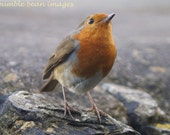 Robin Looking Up photographic Postcards.  Set of 5. Printed on semi- gloss card. A6 size. Blank.