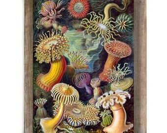 Colorful Antique Illustration Sea Anemones Marine Life Nautical Digital Download Art Print