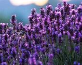 Lavender Sugar - 1/2 Cup