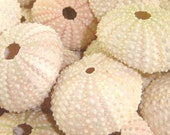 6 Pale Pink Sea Urchins for Beach Weddings, Crafts and More