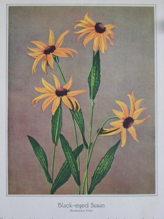 Vintage Book Plate Wildflower Prints (Black-eyed Susan and Jack-in-the-pulpit)
