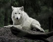 White Wolf Photography, Wolf Photograph, Animal Picture, White and Green Masculine Decor, Wolf Wall Art