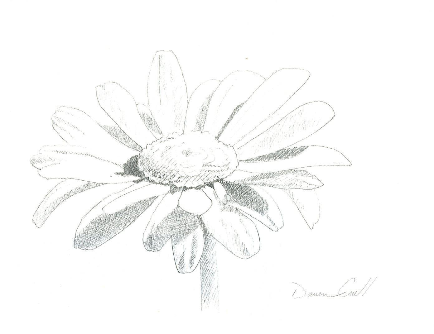 Daisy ORIGINAL Pencil Drawing