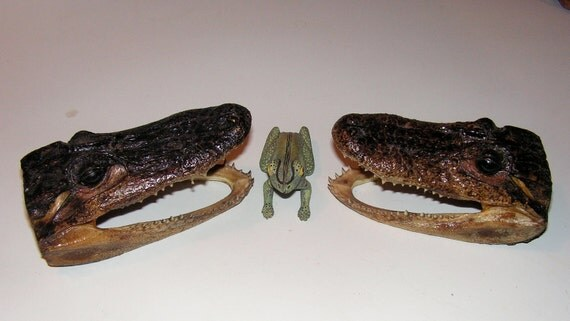 Vintage Twin Alligator Taxidermy Heads 6 Inches Each
