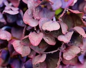 Rain Drenched Pink and Mauve Hydrangea - 11x14 Fine Art Photograph - Even the Flowers Wept
