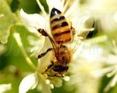 Sweet Autumn 8X10 Photo Fine Art Photograph Print Ivory Clematis Green Bokeh Nature Plant Honey Bee Leaves Vine