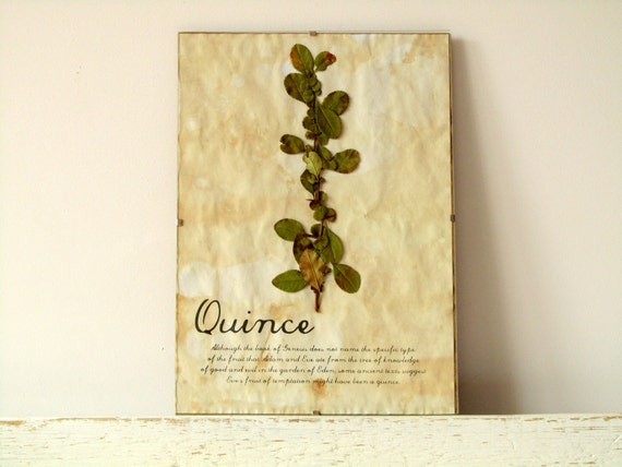 Pressed Leafs- Quince leafs in Frame (2)