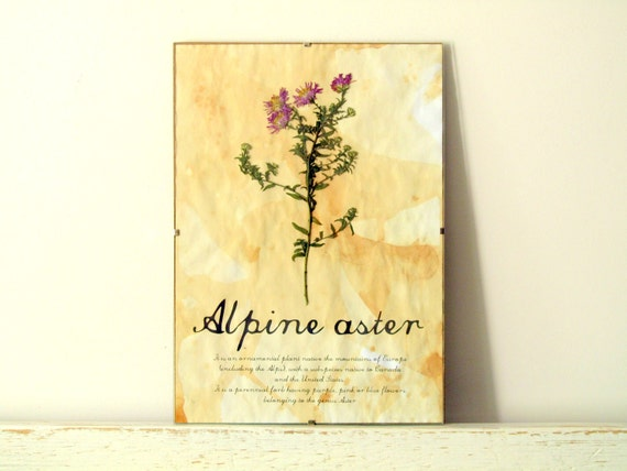 Dried Pressed Flowers- Alpine Aster in Frame (1)
