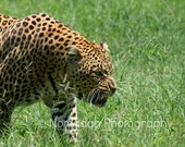 Leopard photograph, animal photography, South Africa, wild cat, fine art photography, wildlife photography, growling cat