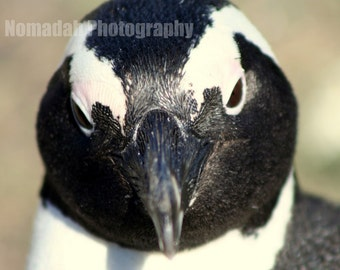 Penguin photography. Wild penguin photo. Jackass South African penguin fine art print. Black and white  8.27 x 11.69 (standard A4)