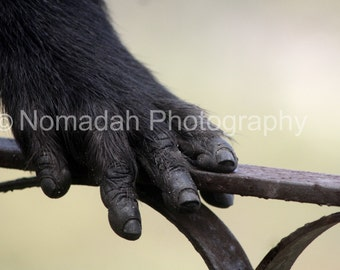 Monkey Baboon hand, Animal photography Wild African animal Primate, South Africa, Fine art photograph, animal donation,