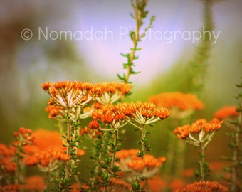 Orange flowers, garden fine art photography, burnt orange, green, autumn fall colors, landscape photography, south african fynbos