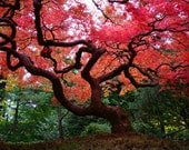 Japanese Red Maple - Fine Art Nature Photography 5x7