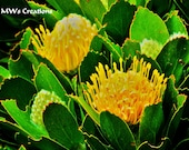 Yellow Flower - Protea - Fine Art Photo  - South Africa - 5 x 7 matted to 8 x 10