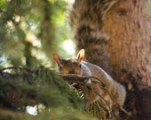 Stealthy Squirrel photo, wildlife, fall colors, autumn decor in nougat brown and forest green.