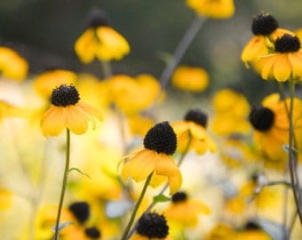 Yellow flower photo. Cone flowers, echinacea in a sunny garden. Whimsical wall art.