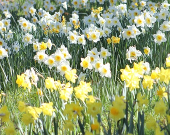 Daffodil Hill III--signed matted framed photo of flowers