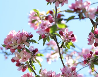 Cherry Blossoms--matted photo from Daffodil Hill