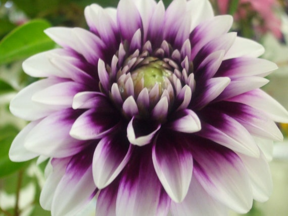 Purple and White Dahlia--framed photo