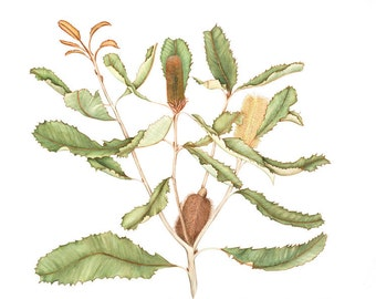 A4 Print Banksia Robur