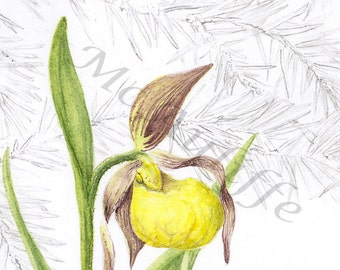 YELLOW LADY'S SLIPPER, giclee of botanical illustration in watercolor and graphite