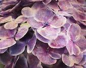 Hydrangea Flower Print - Purple Plum Country Floral Shabby Chic Home Decor Art Photography