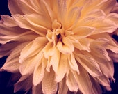 Dahlia Flower Fine Art Print - Floral Garden Peach Navy Plum Yellow Romantic French Country Photograph