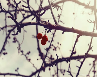 Winter Tree Red Berry Art Print - Nature Three Berries Photograph