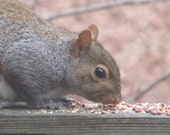 Squirrel photograph 'Squirrel Munchies' 4 by 6 print by addapopofcolor