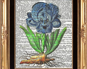 ANTIQUE IRIS FLOWER - Vintage Dictionary Page Print Beautiful Large Blue Garden Plant Nature Bulb Roots Colored Picture
