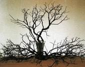 16 Pcs. BEAUTIFUL MANZANITA BRANCHES - 18 to 24 inches Polyurethane Finish