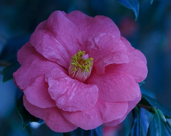 Pink Camellia Photo - Single Pink Flower - gift under 50 photography wall art home decor theartisangroup