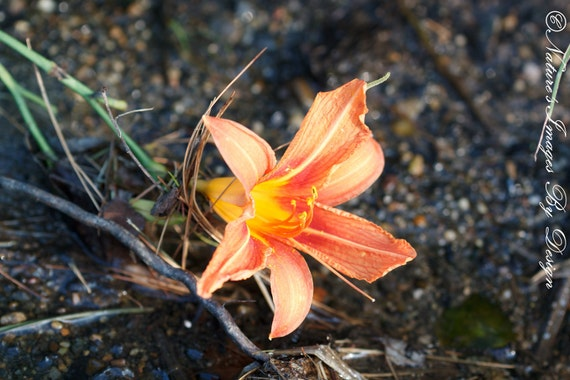 Orange Lily Photo - Single Flower Image - gift under 50 photography wall art home decor theartisangroup