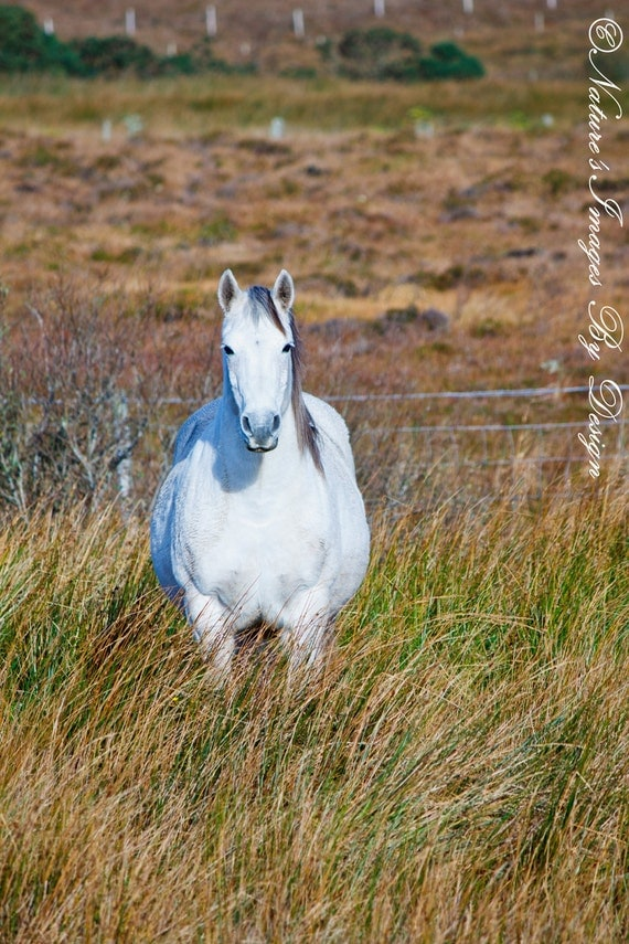 White Connemara Pony Irish Horse Image By Natureimagesbydesign