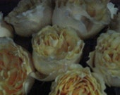 Cabbage Roses Cottage Chic Shabby Chic - Fine Art Print