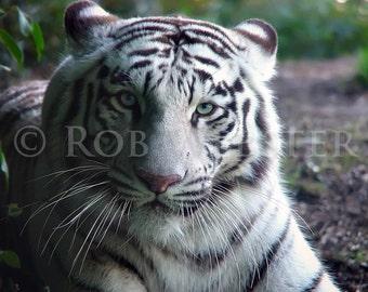 White Tiger, 8x10 Fine Art Photo