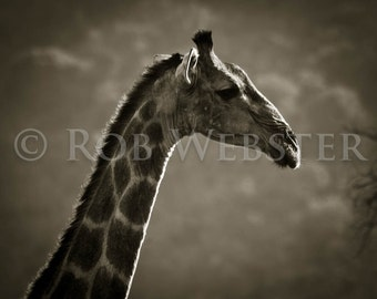 Giraffe 1, 8x10 Sepia Fine Art Photo, num. 3 of Safari Series