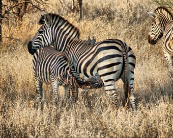 Zebra Mom and Baby  -Fine Art Photography Print - 8x12 - Kruger, South Africa