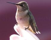 SITTING PRETTY - 8X10 Photograph Fine Art Print. Ruby-throated hummingbird sitting on the feeder