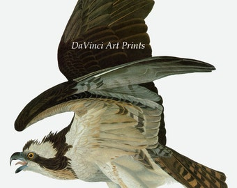 John James Audubon Reproductions - Birds of America, Osprey - Fish Hawk, 1827-1835. Fine Art Print.