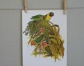 Lovebirds. Vintage Book Plate Parrot Bird Illustration, 9x12