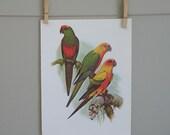 Sun Conures. Vintage Book Plate Parrot Bird Illustration, 9x12