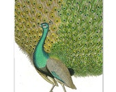 Mixed media Decorative art Animal painting drawing illustration portrait  print POSTER 8x10PEACOCK Portrait2