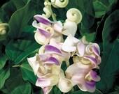corkscrew vine very fragant1 live plant