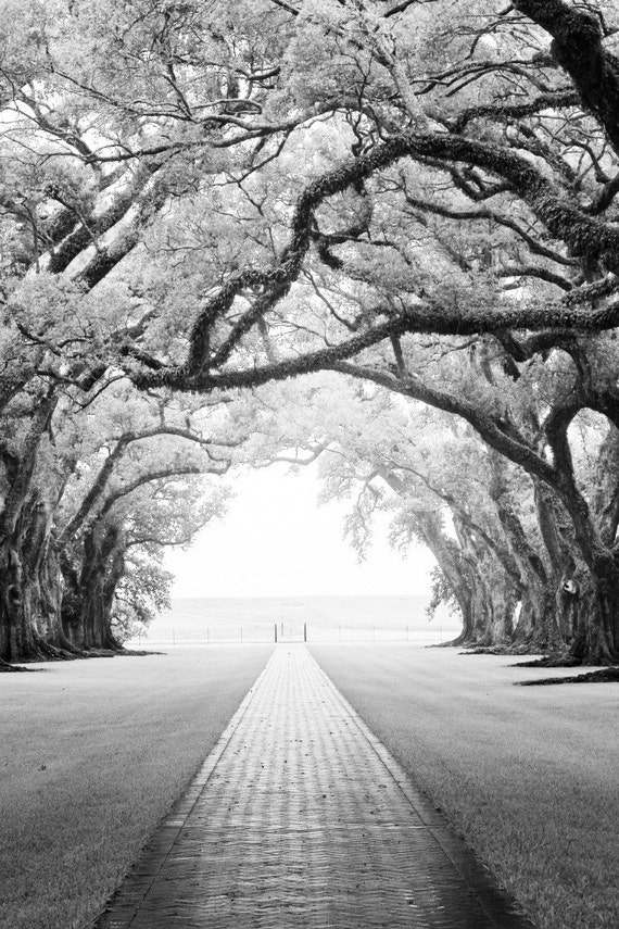 Fine Art Photography Print- Oak Alley- 8x10